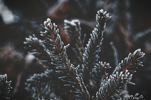 Frost Fir Branch in Winter