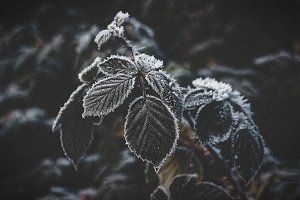 Frost Leaves in Winter