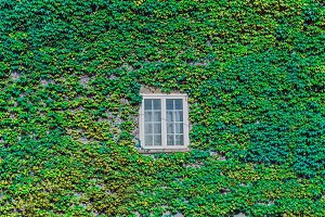 Green ivy creeper in a wall
