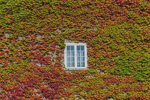 ivy creeper on a wall