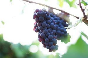Bunch of grape on vineyard