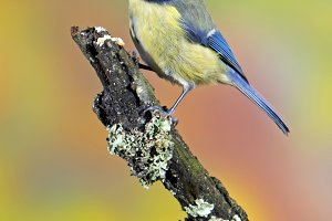 blue tit in a tree.jpg