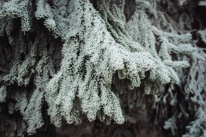 Iced Fir Branches (Vintage Colors)