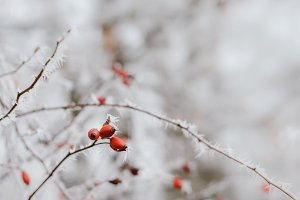 Frozen Rose Hips in Winter