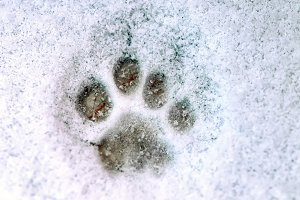 Print of a paw of a cat