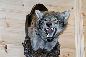 Taxidermy stuffed wolf's muzzle