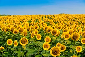 Sunflowers field 1