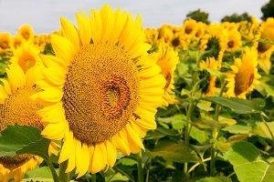 Sunflowers field 2