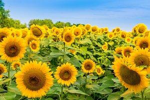 Sunflowers field 3