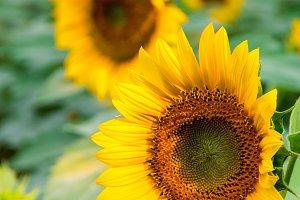 Sunflowers field 4