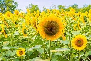 Sunflowers field 5