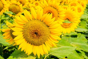 Sunflowers field 6