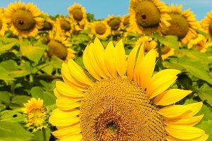 Sunflowers field 7