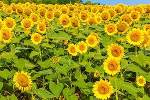 Sunflowers field 8
