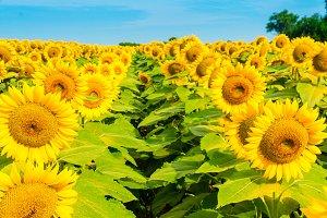 Sunflowers field 9