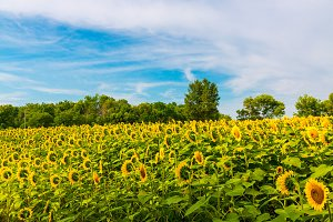 Sunflowers field 10
