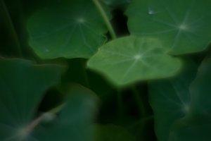 Foliage nasturtium