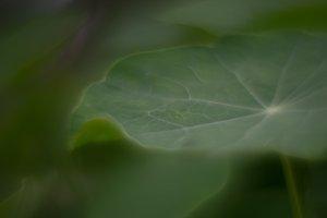 Macro foliage nasturtium