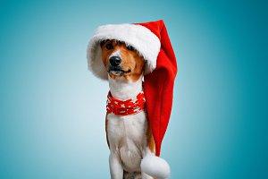 Beautiful dog wering christmas costumes