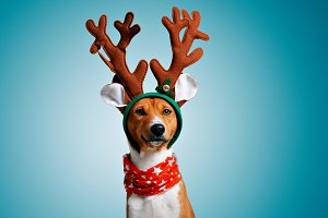 Beautiful dog wering christmas costumes