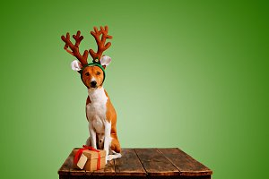 Dog dressed up as Christmas deer with present