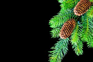 Fir Tree Twig