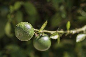 Green oranges.
