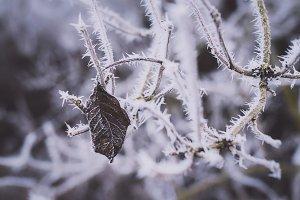 Frozen Leaves on Tree in Winter