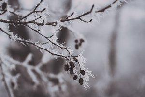 Frozen Leaves on Tree Branch