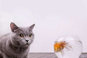 Cat with golden fish