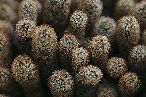 Group of Cacti in Desert Macro