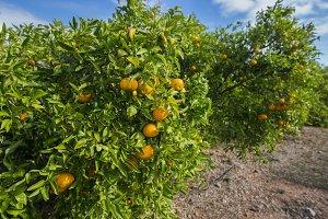 Oranges.
