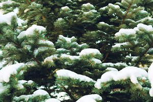 frozen coniferous branches