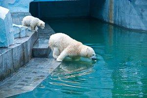 White bears