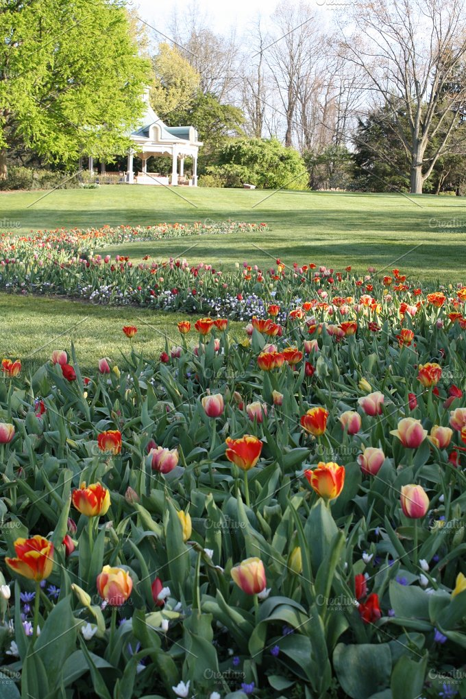 Field of Tulips no. 2 - Nature
