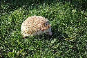 Hedgehog 001
