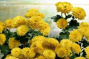 Yellow Chrysanthemum Bunch