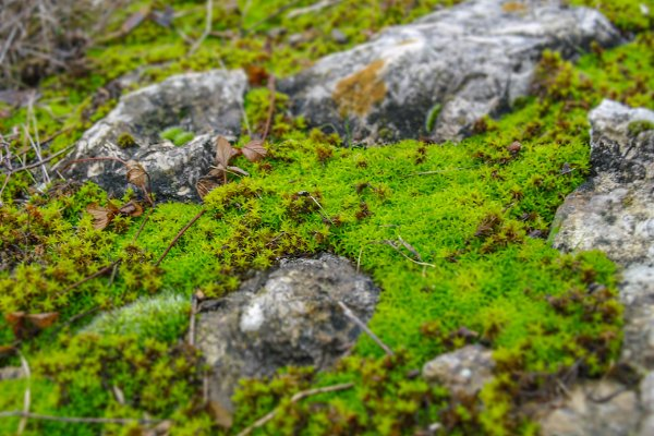 Moss on the stone selective focus