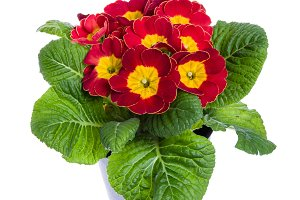 Red potted primrose