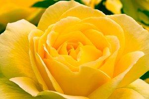 Beautiful yellow rose