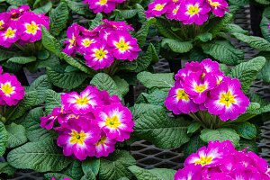 Pink flowering primroses