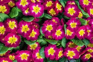 Red flowering primroses