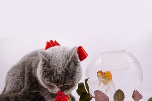 Grey cat with golden fish