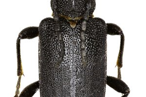 Large Black Longhorn Beetle