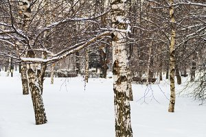 Birches in the snow in December in a park in Moscow