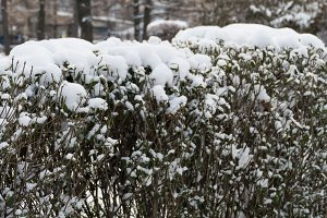 Bushes in the snow in a park in December in Moscow