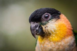 Parrot black