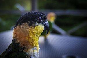 Parrot black 2