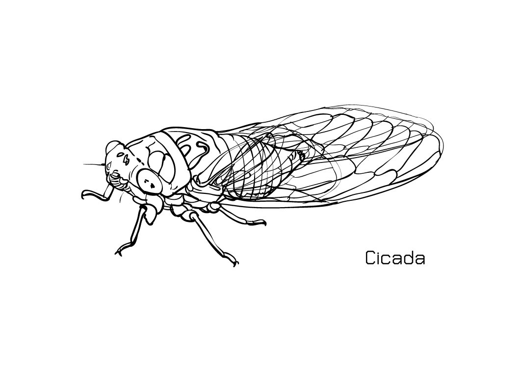 Drawing of cicada ~ Illustrations ~ Creative Market