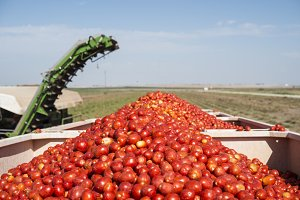 Collects tomatoes in trailer.